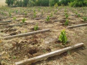 Сажать виноград нужно на правильном расстоянии
