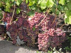 сорт, виноград, руслан, винограда «Руслан», данного сорта
