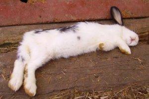 Тепловой удар у кролика