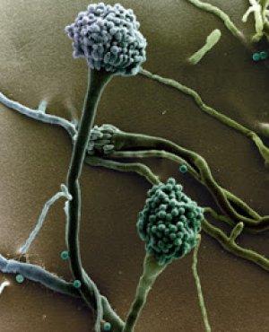 Аспергилл - возбудитель болезни