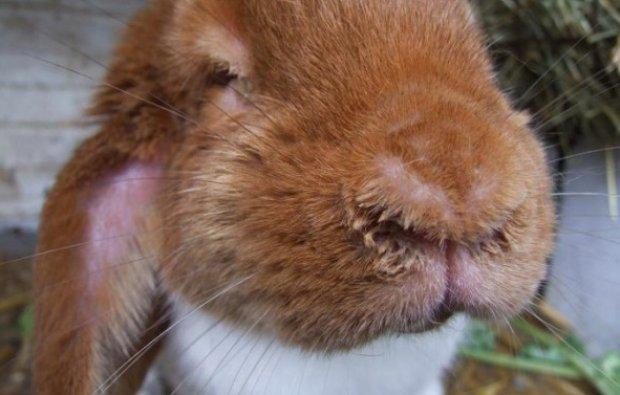 Болезни кроликов: методы их лечения и профилактики