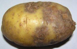 Фитофтороз картофеля