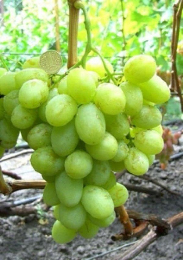 Сорта винограда Вишневецкого какой выбрать