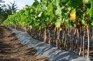 Виноград виктор описание сорта фото
