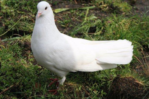 Топ-10 самых необычных голубей, фото