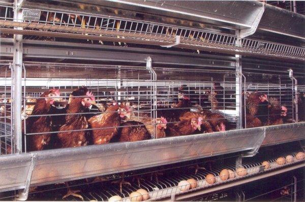 выращивание кур на мясо там