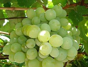 Виноград обрезка талисмана