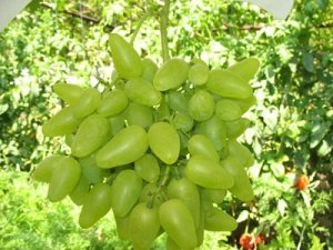 Сорт винограда «Бажена»