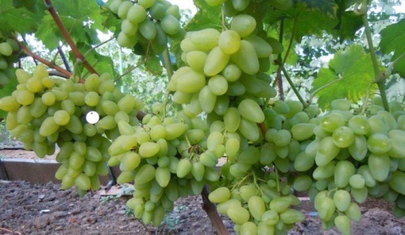Земля для винограда нуждается в подкормке