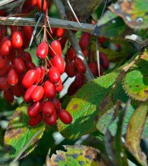 Пятнистость листьев барбариса