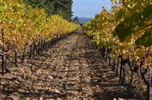 Виноград можно сажать как весной так и осенью