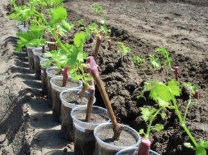 Виноград можно сажать саженцами или черенками