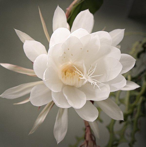 Виды кактусов - Комнатные растения и цветы. Как определить 96