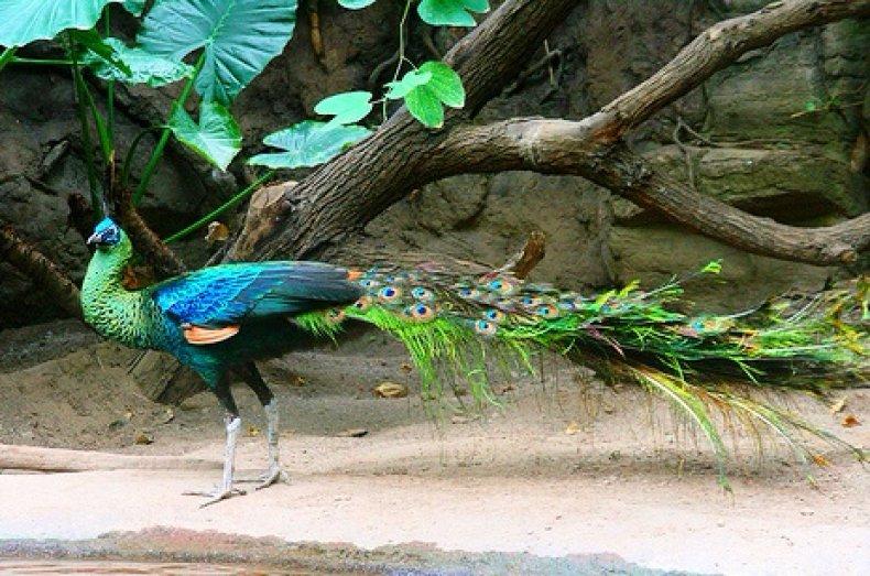 Бирманский зелёный павлин