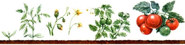 Вегетация томатов
