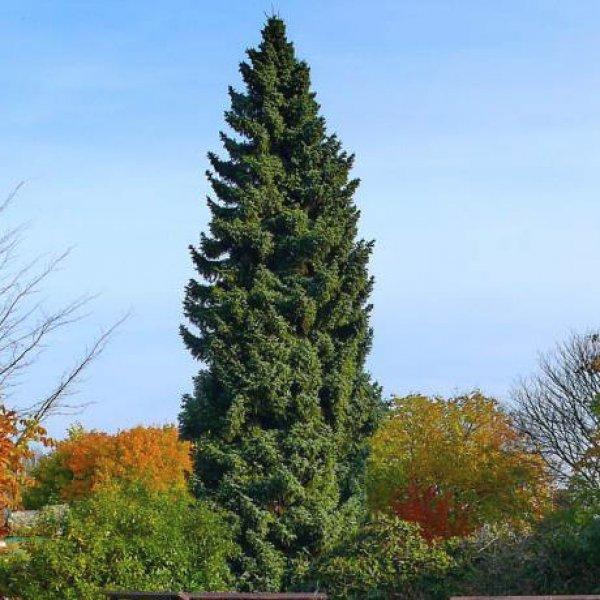 хвойные деревья и кустарники названия