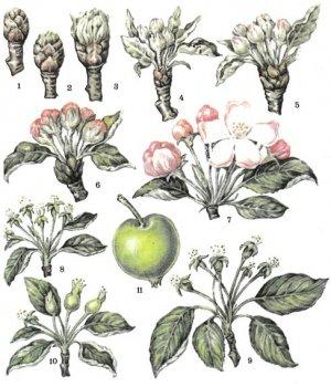 Фазы развития яблони