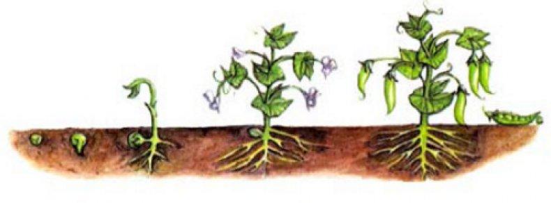 Картинка стадии роста растений