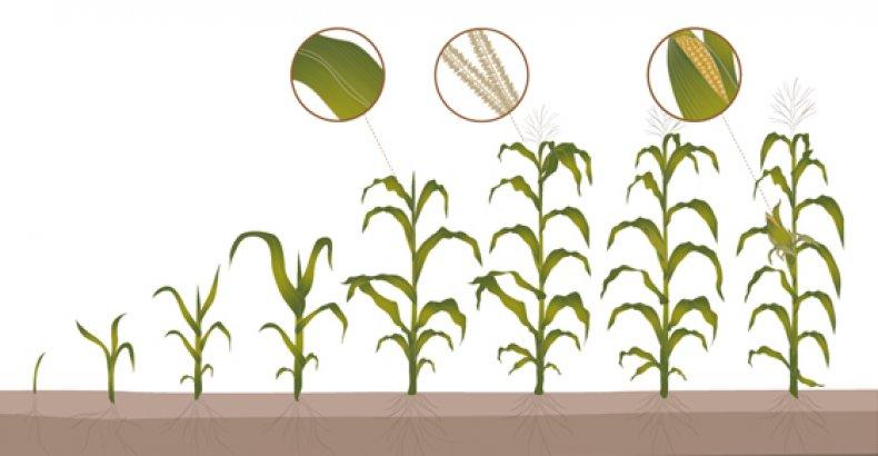 Вегетация кукурузы