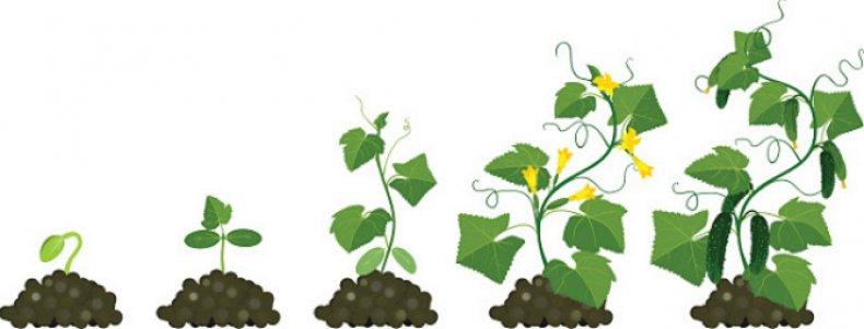 Вегетация огурцов