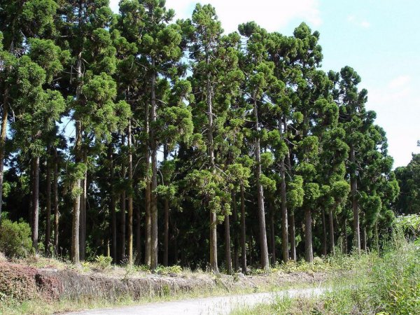 Горная пихта и другие хвойные деревья