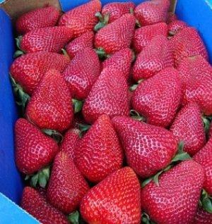 Плоды сорта очень большие