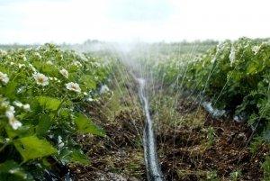 Урожай клубники напрямую зависит от полива