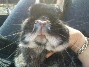 Заразный насморк у кроликов