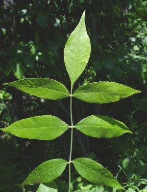 Семена ясеня фото
