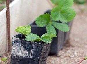 При выращивании рассады нужно помнить о температуре и влажности