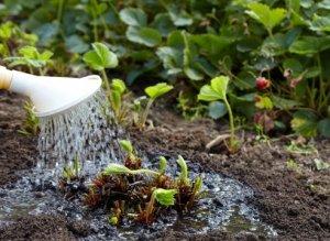 Чтобы урожай не пострадал важно ухаживать за клубникой