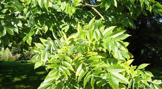 Лечебные свойства ясеня, как применяют растение в народной медицине