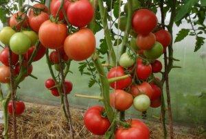 помидор, малиновый, чудо, описание, выращивание
