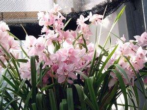 цимбидиум, уход, домашний, корневой системы, Орхидея цимбидиум, специальном магазине