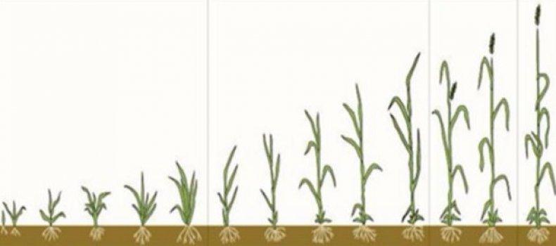 Вегетация пшеницы