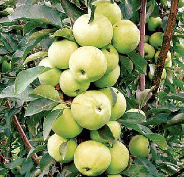 Уход за колоновидными фруктовыми деревьями