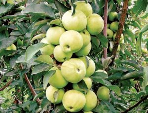 Яблони колоновидные