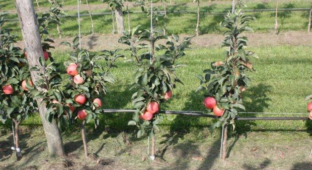 Яблуня колоновидна посадка і догляд