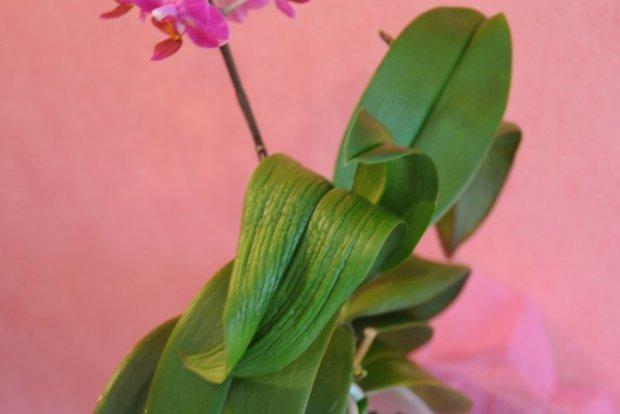 Почему сморщились листья у орхидеи