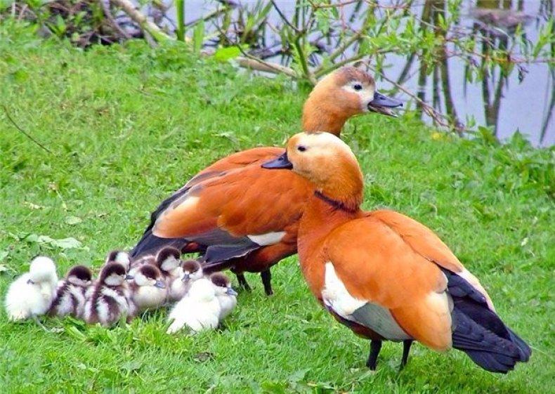 утка, мандаринка, разводить, утка мандаринка, мандаринка живет