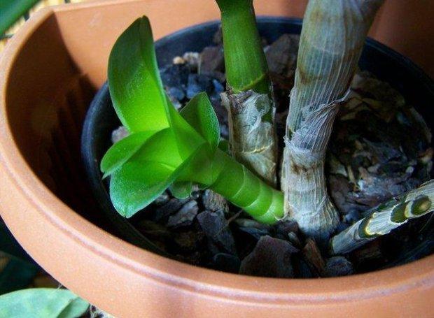 Размножение орхидеи