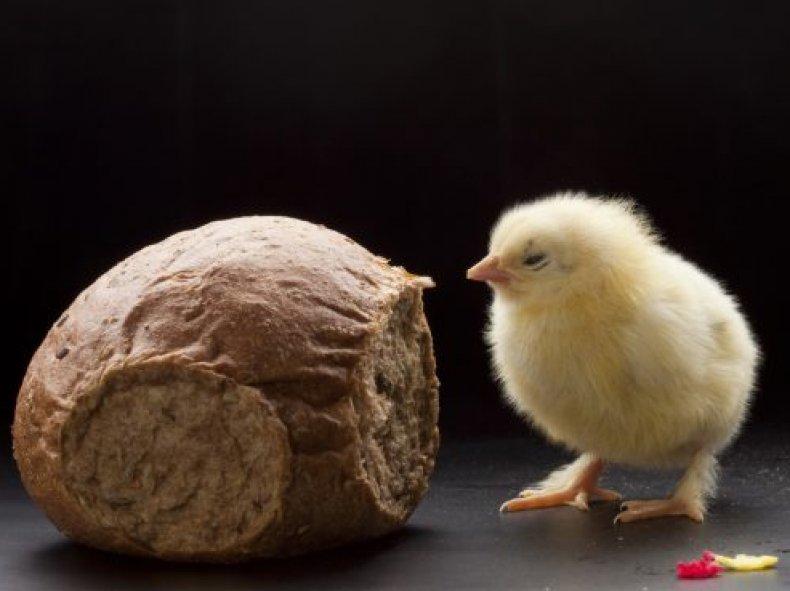 Хлеб для цыплят