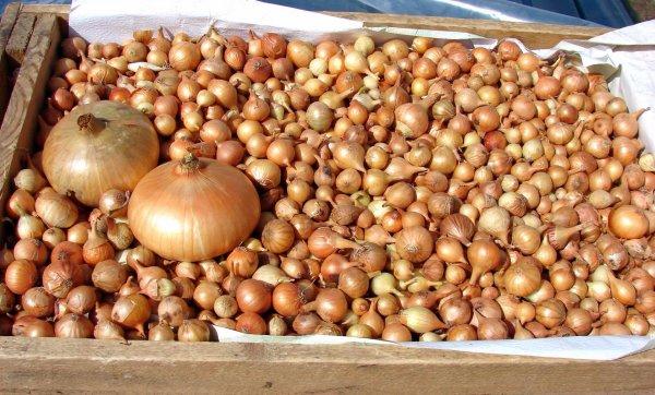 Лук-севок выращивание и уход за культурой