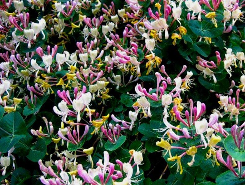 Как рассадить жимолость делением куста. Как вырастить жимолость каприфоль из семян. Жимолость каприфоль размножение