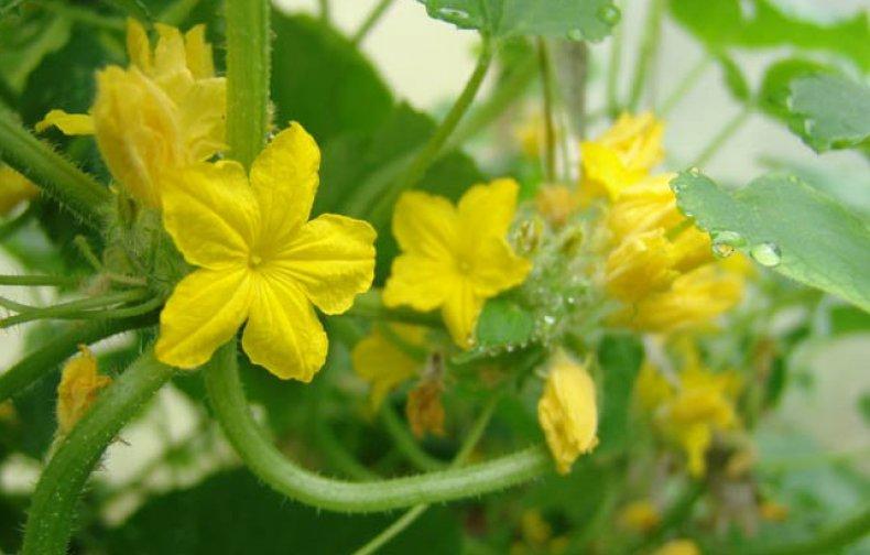 огурец, пустоцвет, Елена Лазарева, имеет большое, мужские цветки