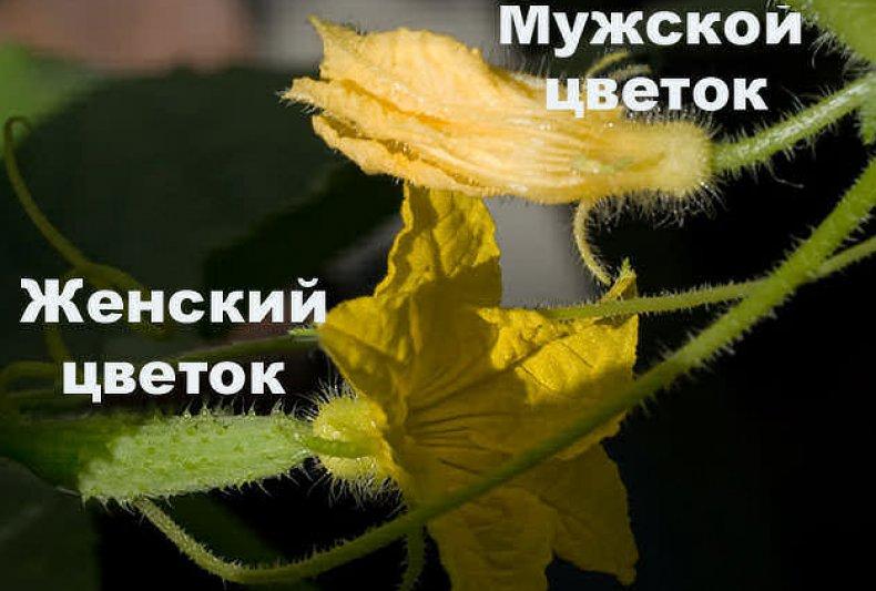 Цветы огурца