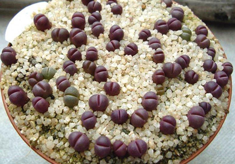 литопсы, выращивание, живой, камень, домашний, «живых камней»