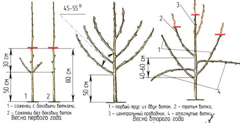 Агротехника выращивания яблони - Медуница описание сорта, правила посадки и ухода