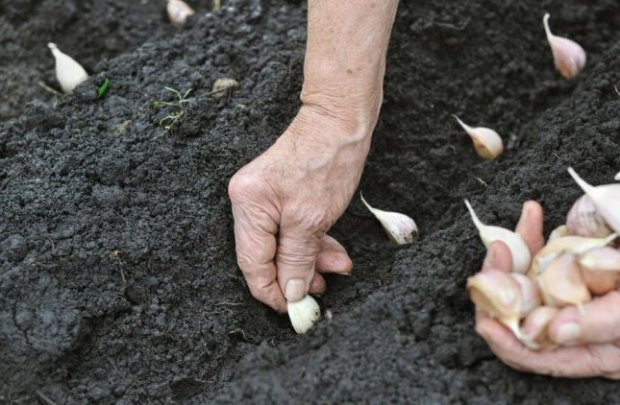 Чеснок выращивание и уход