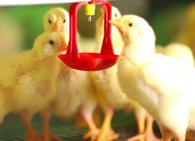 Поение цыплят препаратом
